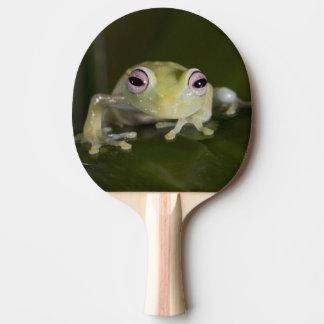 African Glass Frog, Hyperolius viridiflavus, Ping-Pong Paddle