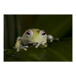 African Glass Frog, Hyperolius viridiflavus, Poster