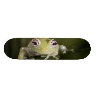 African Glass Frog, Hyperolius viridiflavus, Skate Boards