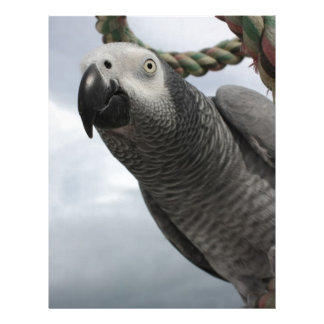 African Grey Parrot Close-up Personalized Letterhead