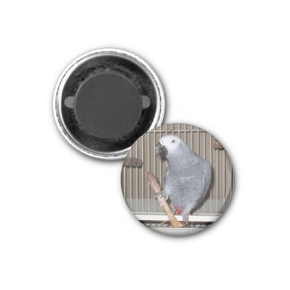 African Grey Parrot eating a chicken bone Magnet