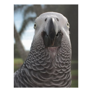 African Grey Parrot Face Close-Up Letterhead Template
