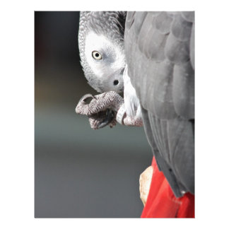 African Grey Parrot Letterhead Template