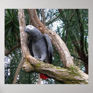 African Grey Parrot Print