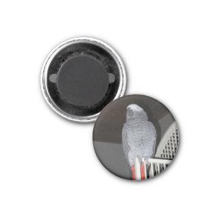 African Grey Parrot Sleeping Magnet