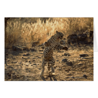 African leopard on hind legs , Namibia , Africa Card