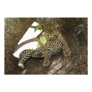 African Leopard, Panthera pardus, in a tree in Photo Art