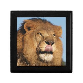 African Lion (Panthera Leo), African savannah Keepsake Box