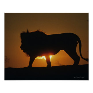 African lion (Panthera leo) against sunset, Poster