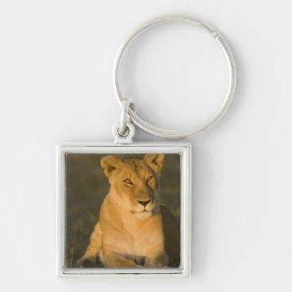 African Lion, Panthera leo, at sunrise. Masai Key Chain