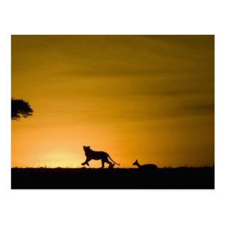 African Lion, Panthera leo, chasing gazelle Postcard