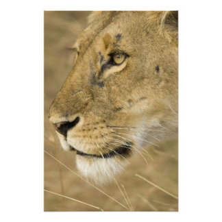 African Lion, Panthera leo, close up portrait Photo Art