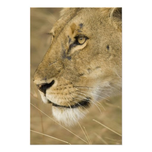 African Lion, Panthera leo, close up portrait Photographic Print