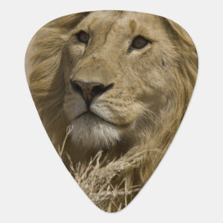 African Lion, Panthera leo, Portrait of a Pick