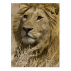 African Lion, Panthera leo, Portrait of a Postcard