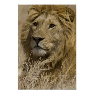 African Lion, Panthera leo, Portrait of a Poster