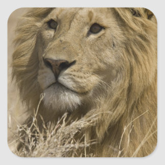 African Lion, Panthera leo, Portrait of a Sticker