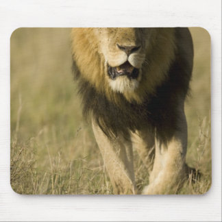 African Lion, Panthera leo, walking in the Mouse Pad