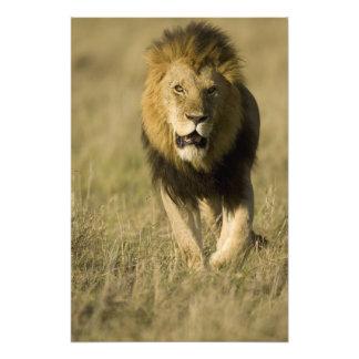 African Lion, Panthera leo, walking in the Photo Art