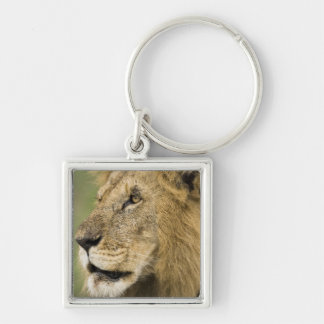 African Lion Portrait, Panthera leo, in the Keychain