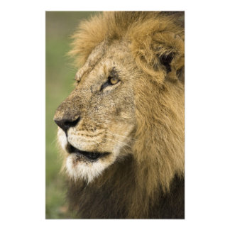 African Lion Portrait, Panthera leo, in the Photo Print