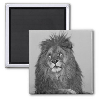 African Lion resting on rock cliff Square Magnet
