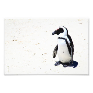 African Penguin at Boulders Beach, Cape Town Photo Print