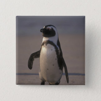 African Penguin (Spheniscus demersus) or Jackass 2 Inch Square Button