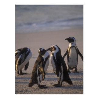 African Penguin (Spheniscus demersus) or Jackass 2 Postcards