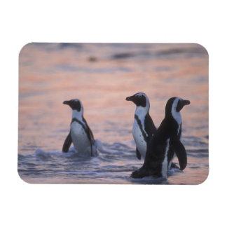 African Penguin (Spheniscus demersus) or Jackass 3 Rectangular Photo Magnet