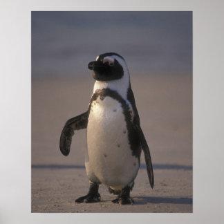 African Penguin (Spheniscus demersus) or Jackass Poster