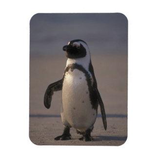 African Penguin (Spheniscus demersus) or Jackass Rectangular Photo Magnet