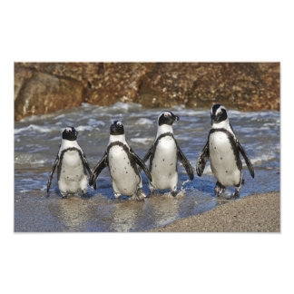 African Penguin, Spheniscus demersus Photo