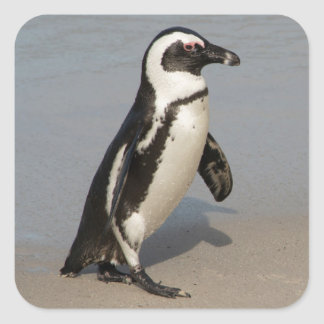 African Penguin Walking Square Sticker