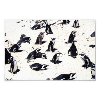 African Penguins on Boulders Beach Photograph