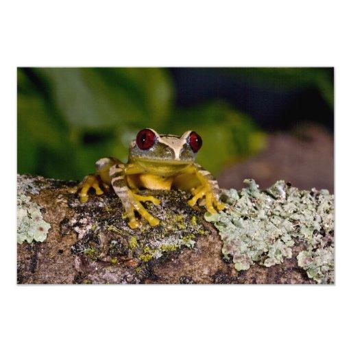 African Red Eye Treefrog, Leptopelis 2 Art Photo