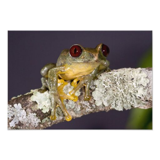 African Red Eye Treefrog, Leptopelis Photo