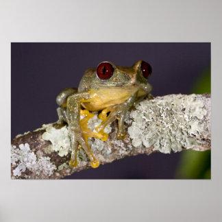 African Red Eye Treefrog, Leptopelis Poster