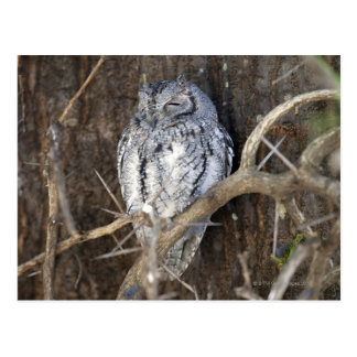 African Scops-Owl, Kruger National Park, South Postcard