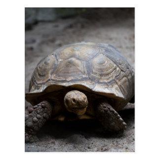 African Spurred Tortoise Postcard