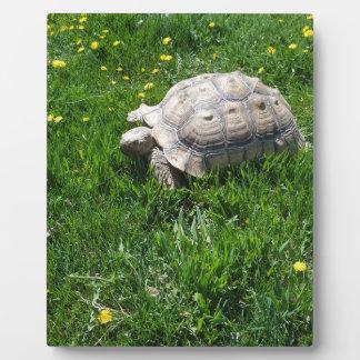 African sulcata tortoise plaque