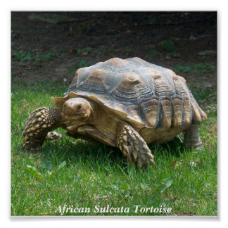 African Sulcata Tortoise Poster