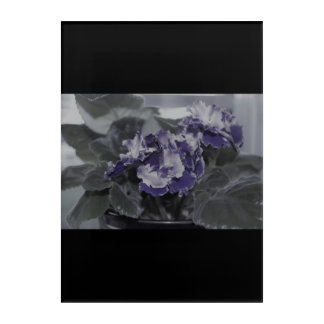 African Violet black and white Acrylic Print