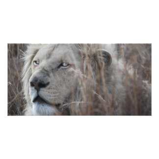 African white lion resting picture card