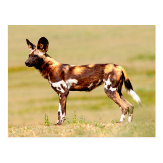 African Wild Dog (Lycaon Pictus) Standing Postcard