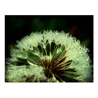 After the rain - Dandelion with droplets Postcard