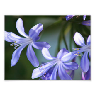 Agapanthus flower blooms photographic print