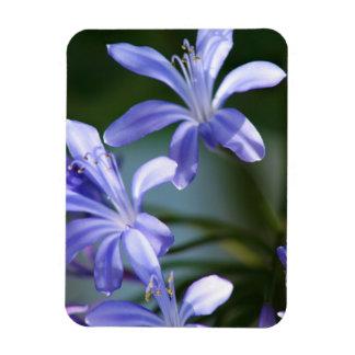 Agapanthus flower blooms rectangular photo magnet
