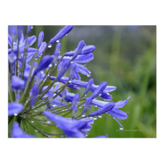 Agapanthus praecox, commonly known as postcard