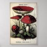 Agaricus muscarius Mushrooms Poster